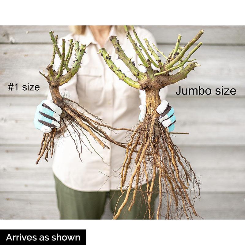 Just Joey Hybrid Tea Rose
