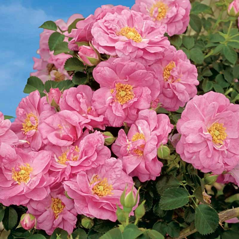 Cape Diamond™ Climbing Rose