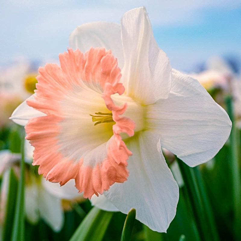 British Gamble Giant Daffodil