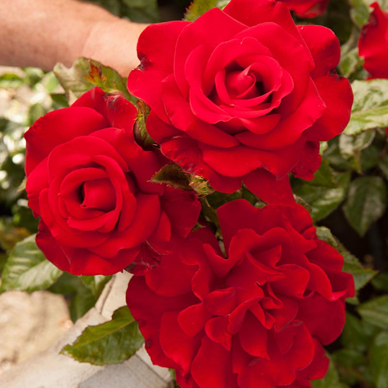 Drop Dead Red™ Floribunda Rose