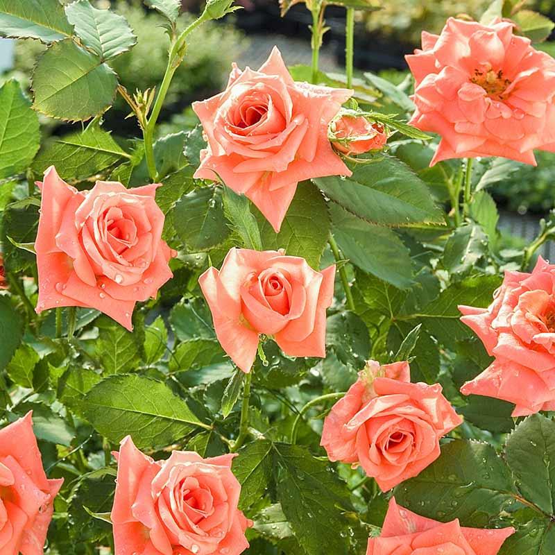 Apricot Princess<sup>®</sup> Shrub Rose