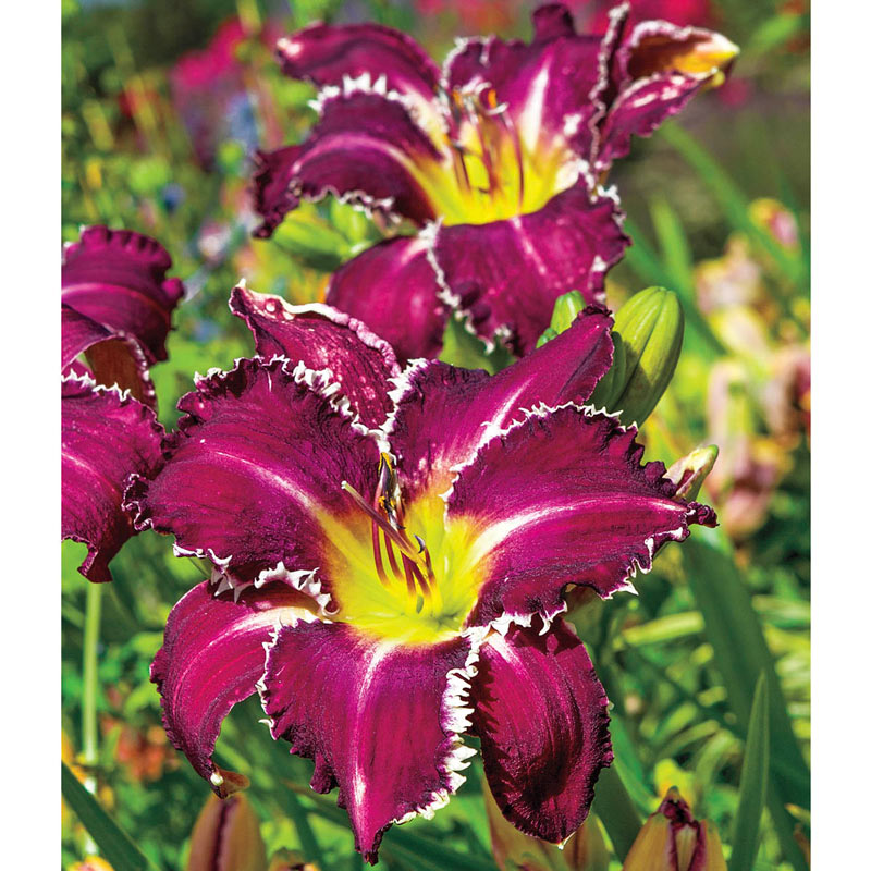 Snaggle Tooth Reblooming Daylily