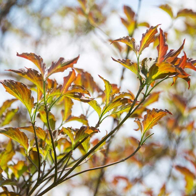Raging Red Flowering Dogwood Tree