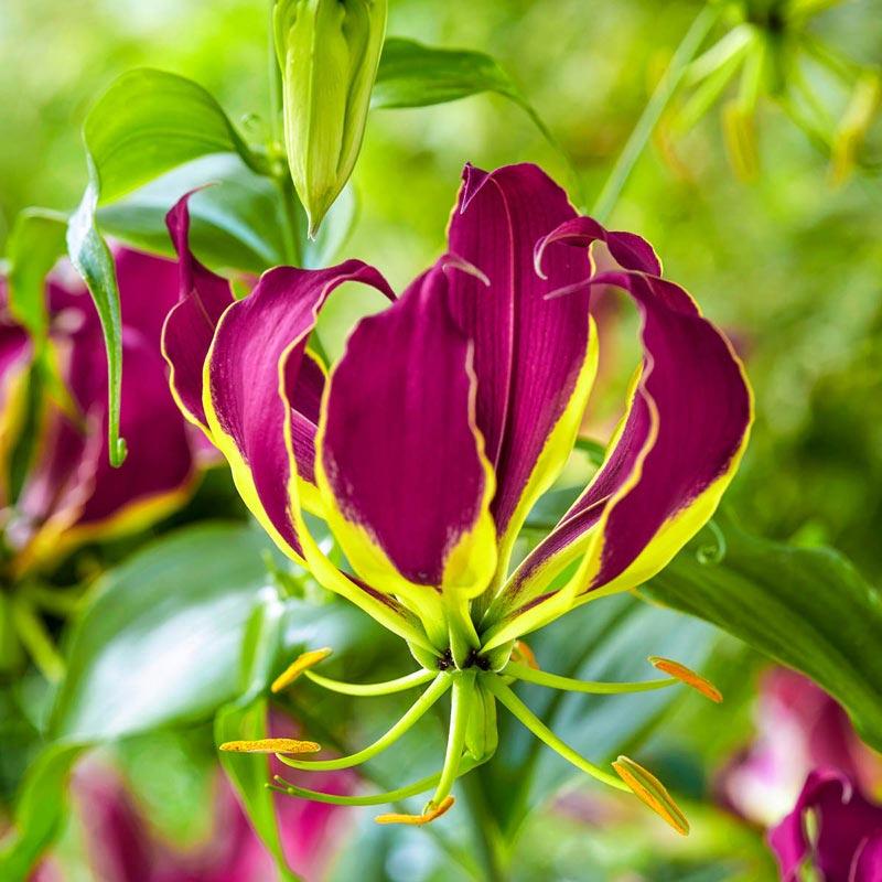 Carsonii Gloriosa Lily