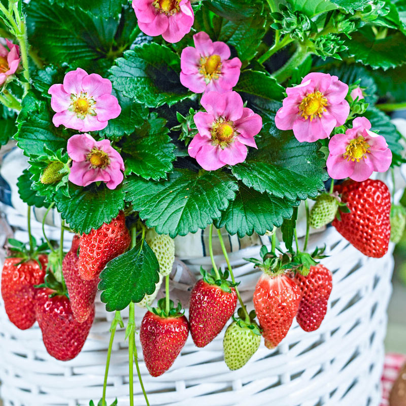 Gasana Everbearing Strawberry
