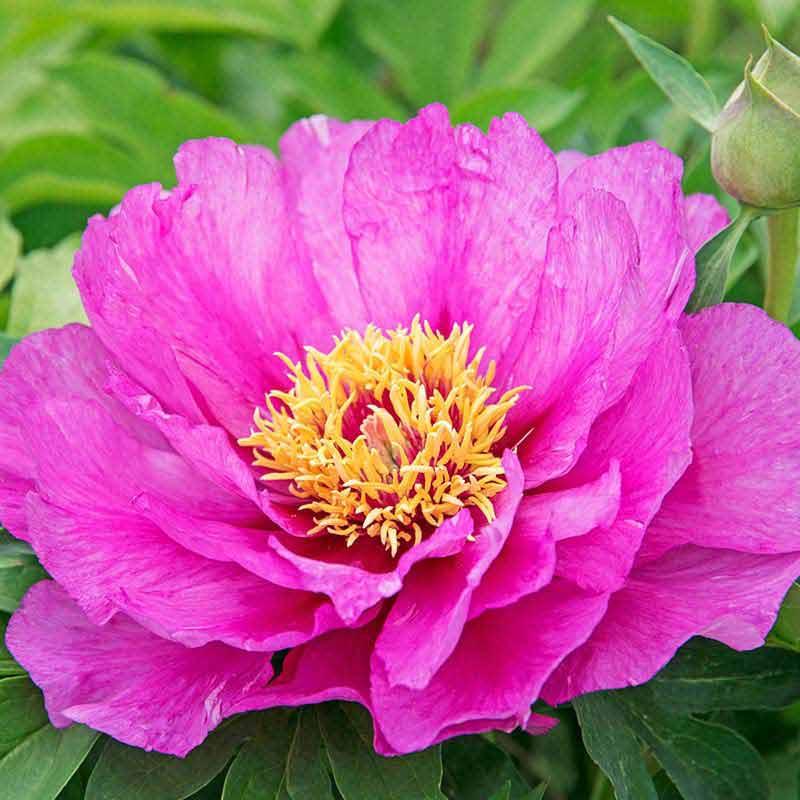 Morning Lilac Itoh Peony