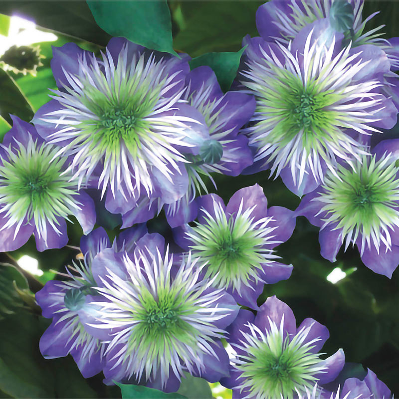 Clematis Crystal Fountain™