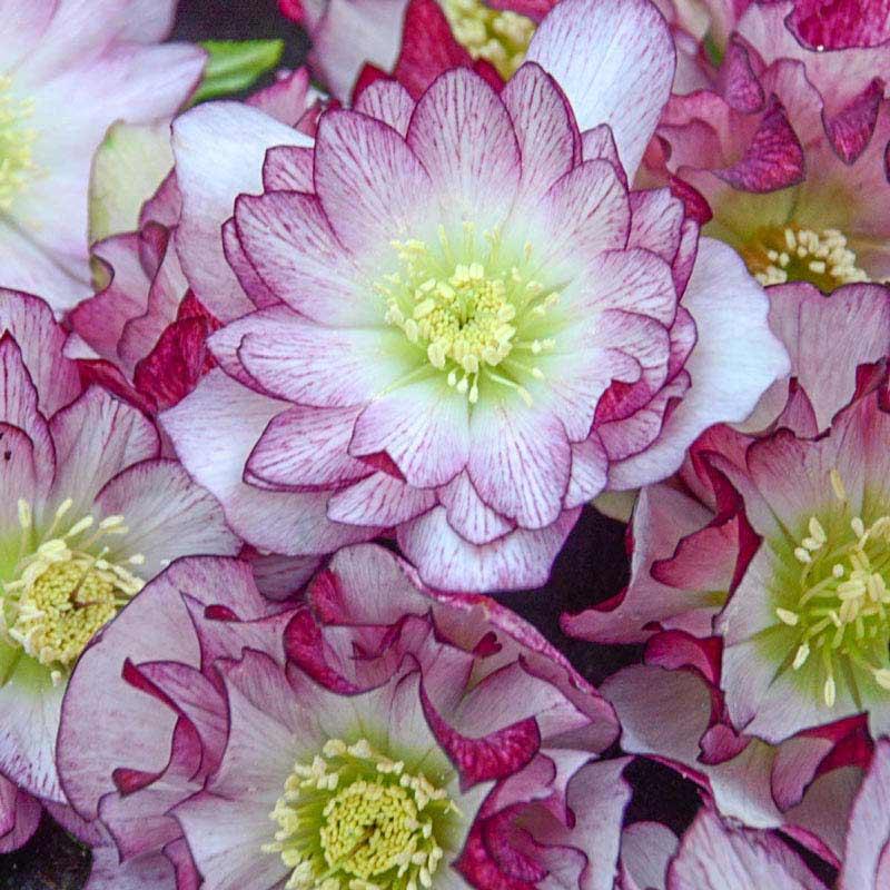 Blushing Bridesmaid Lenten Rose