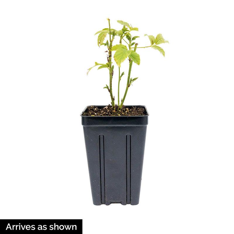 Black Berry Triple Crown