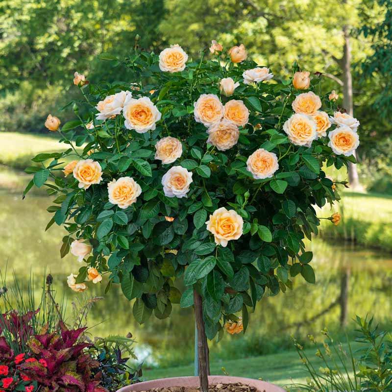 Edith's Darling™ Tree Rose