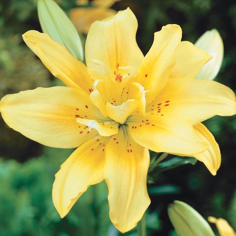 Fata Morgana Lily