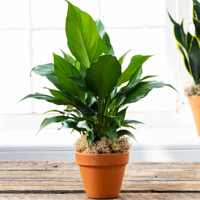 High Five Peace Lily
