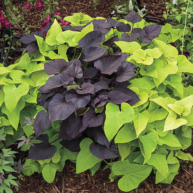 Blackie Sweet Potato Vine