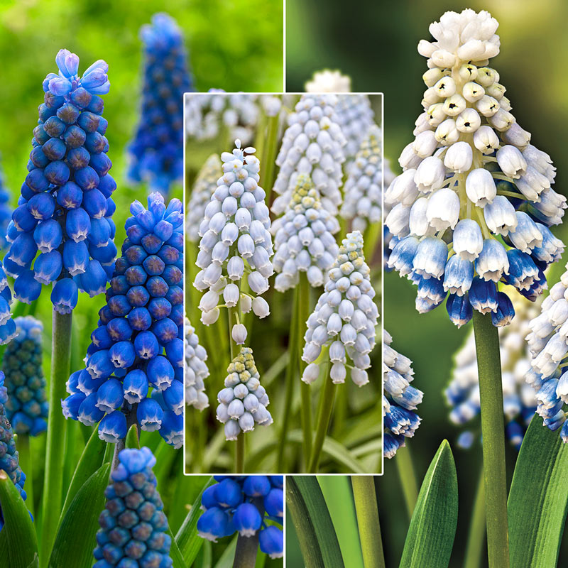 Spring is Coming Grape Hyacinth Collection