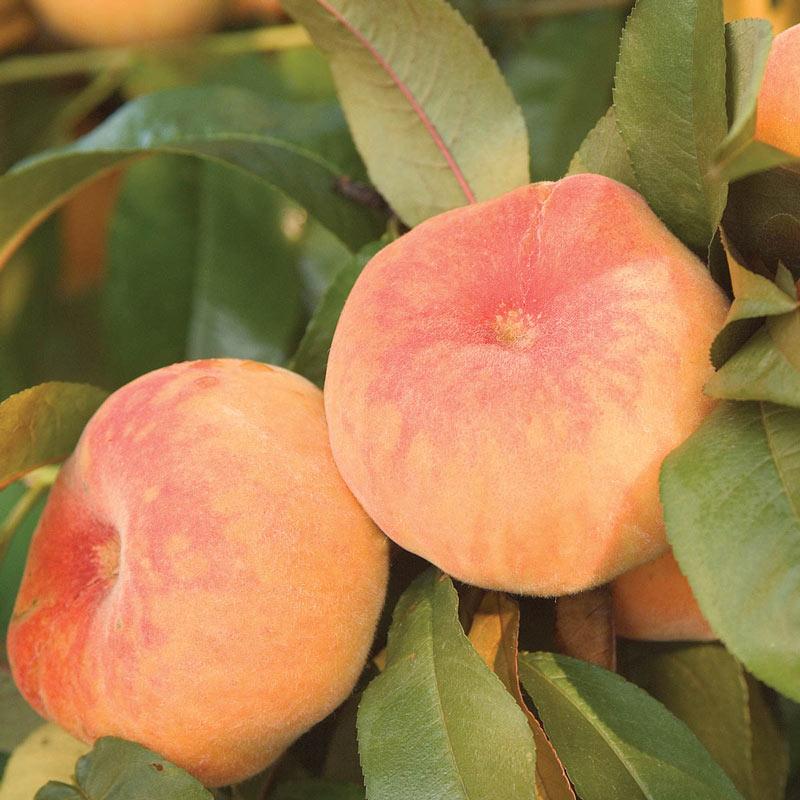 Flat Wonderful™ Peach Tree