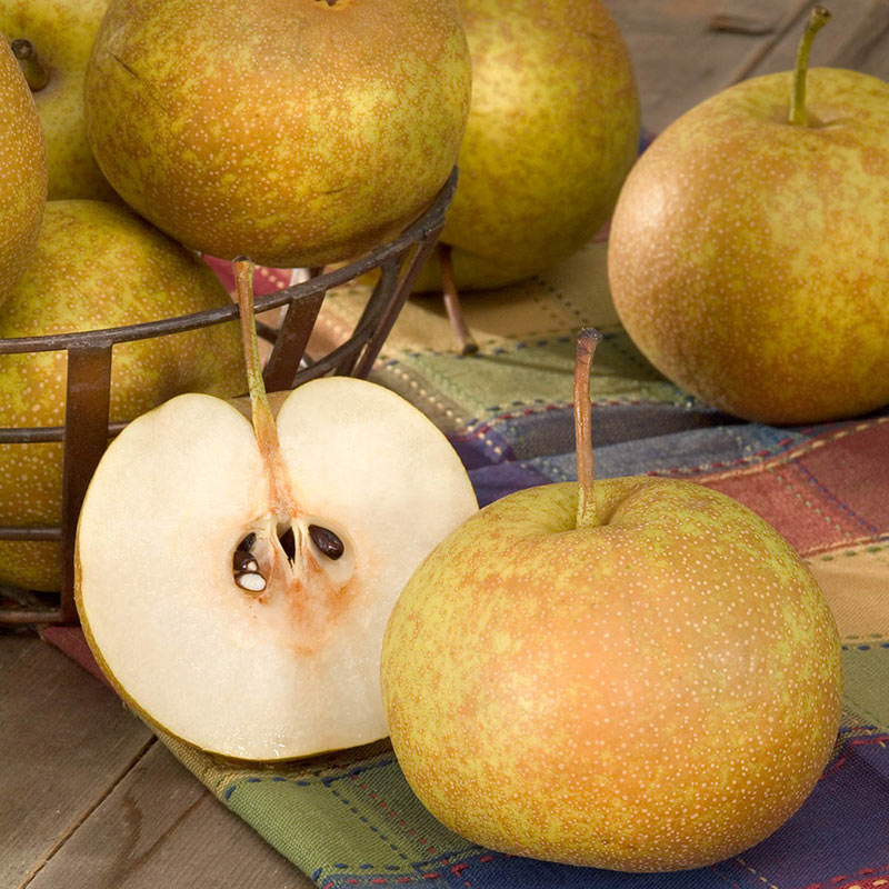 Drippin' Honey™ Pear PPAF STD 2-4 FT