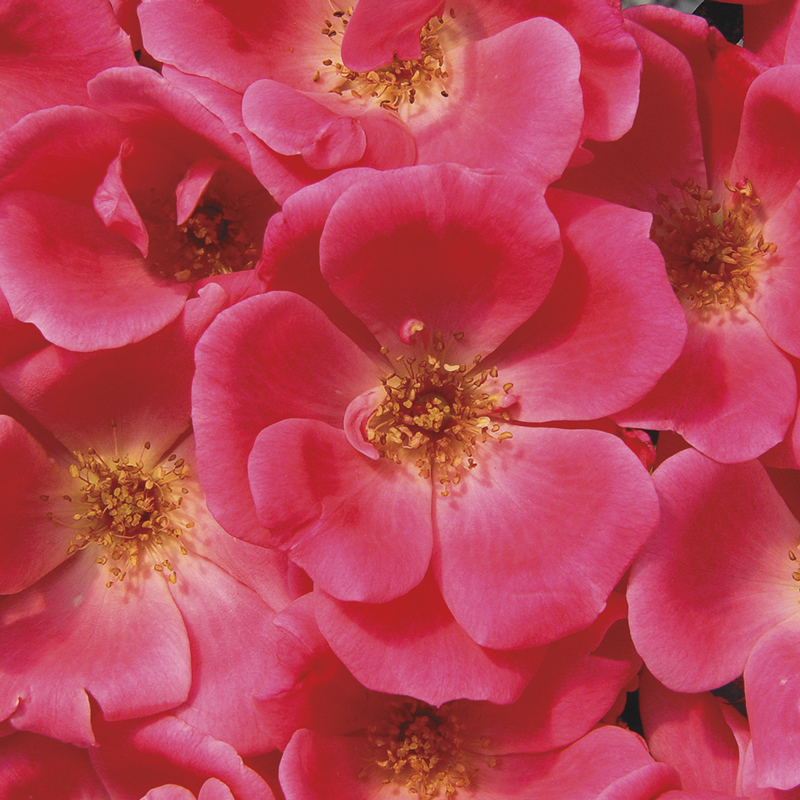 Knockout® Pink Rose
