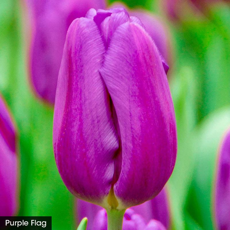 Tulipmania - Tulip Cutting Collection
