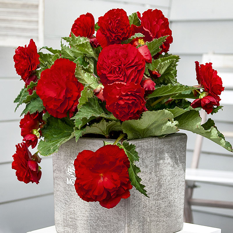 Nonstop<sup>®</sup> Red Begonia