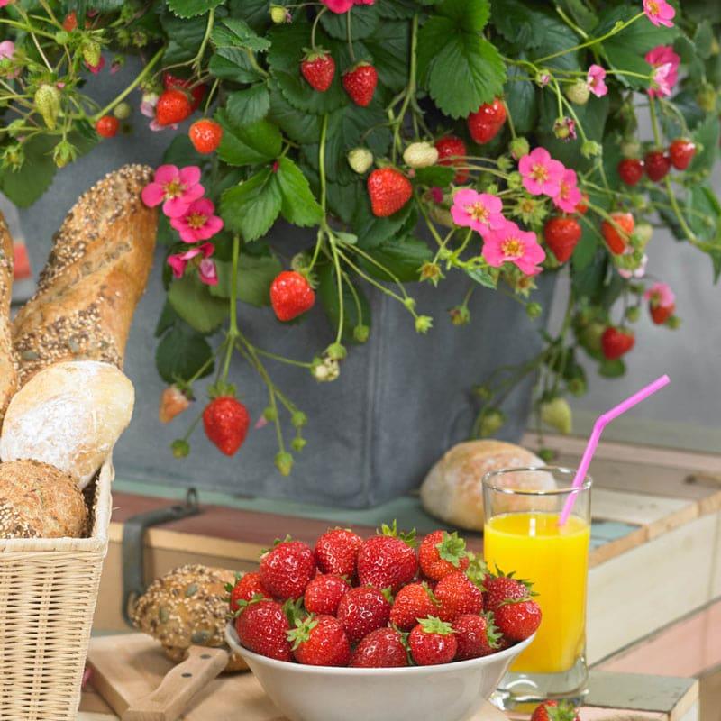 Toscana Strawberry