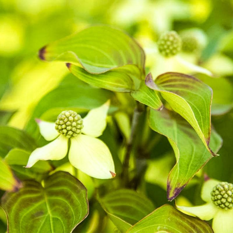 Blue Ray™ Flowering Dogwood
