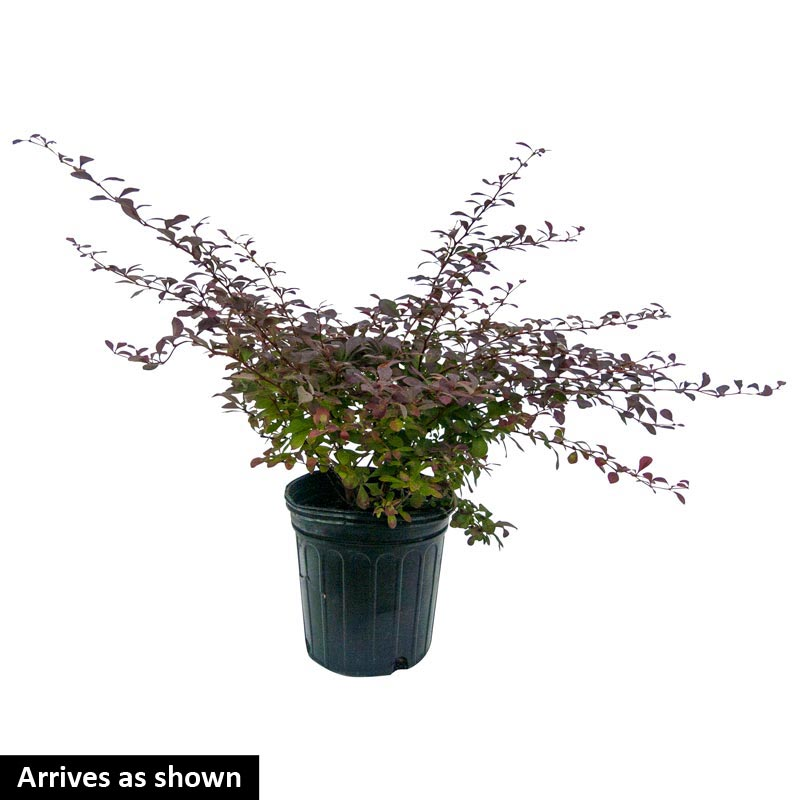 Rose Glow Barberry Hedge
