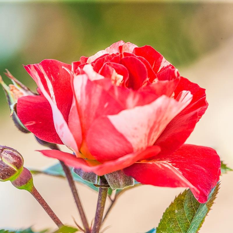 Tropical Lightning™ Climbing Rose