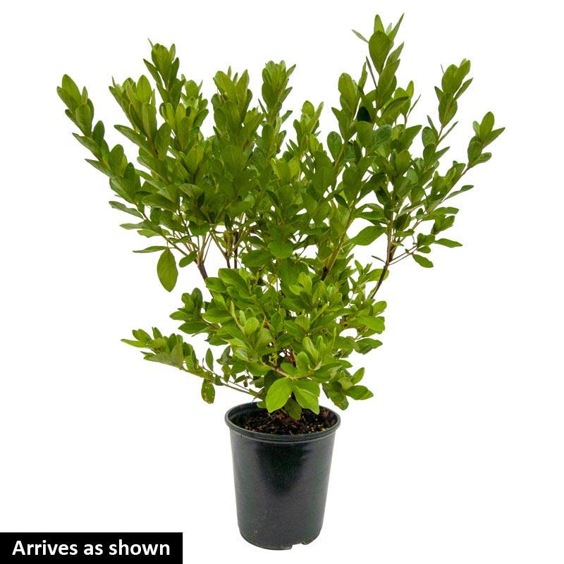Delaware Valley White Evergreen Azalea