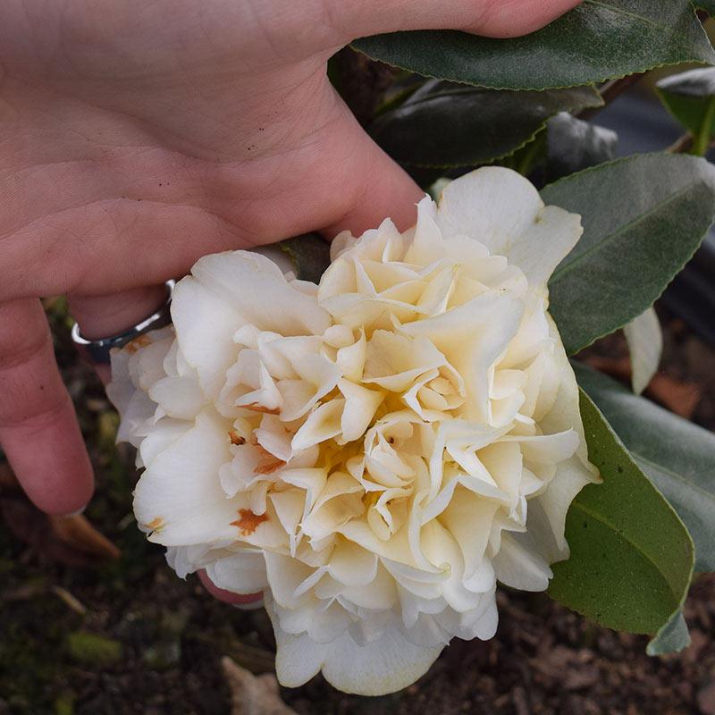 Jury's Yellow Camellia