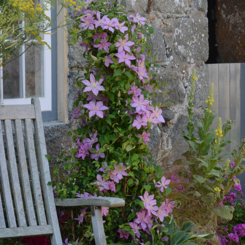 Clematis Sally™