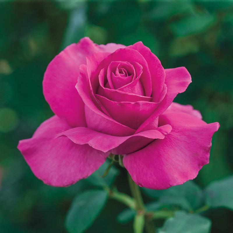 All My Loving Hybrid Tea Rose