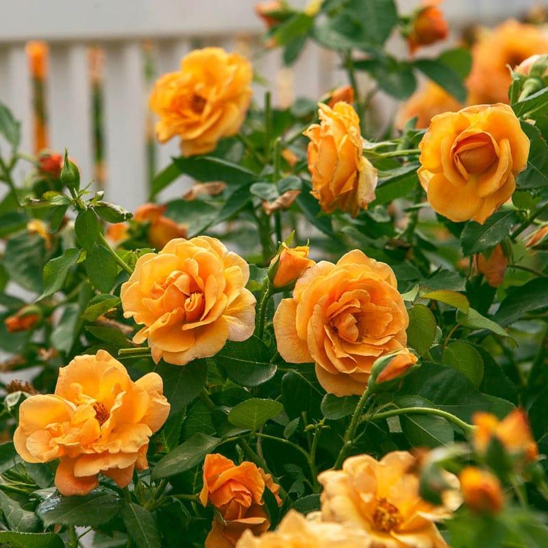 Orange Freedom Rose