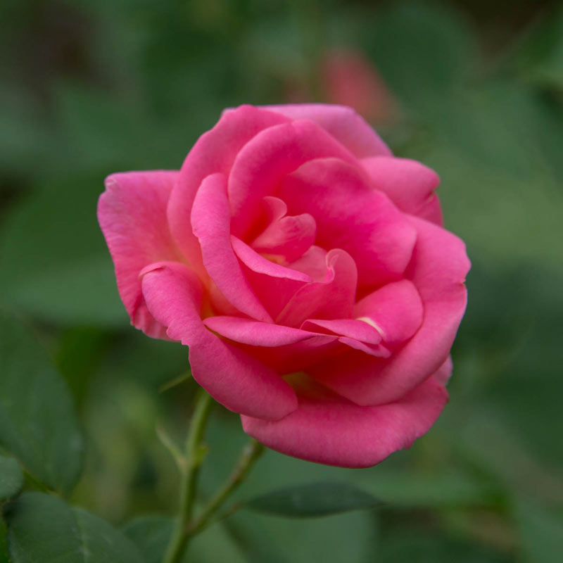 Pink Freedom Rose