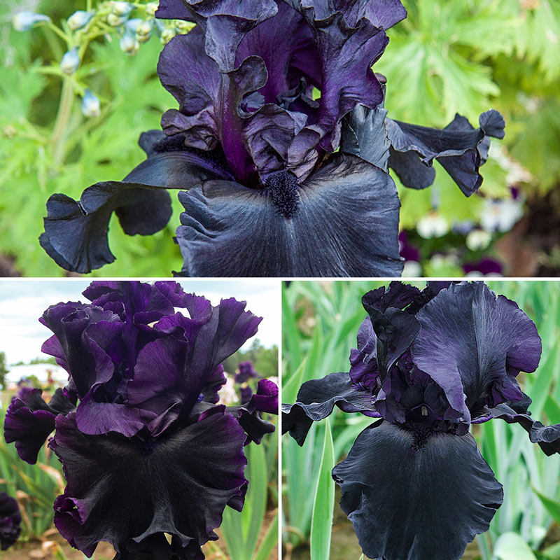 Almost Midnight Iris Collection