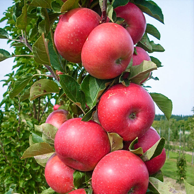 Tasty Red™ Urban Apple®