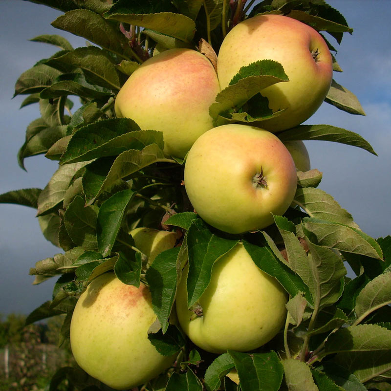 Golden Treat™ Urban Apple<sup>®</sup> Tree