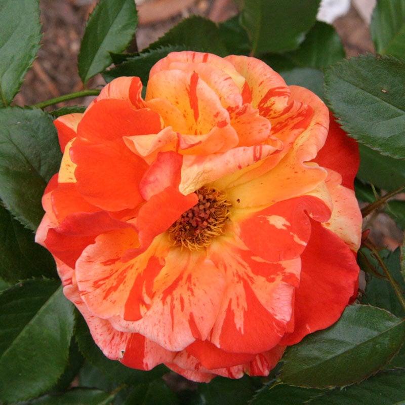 Oranges 'n' Lemons Shrub Rose