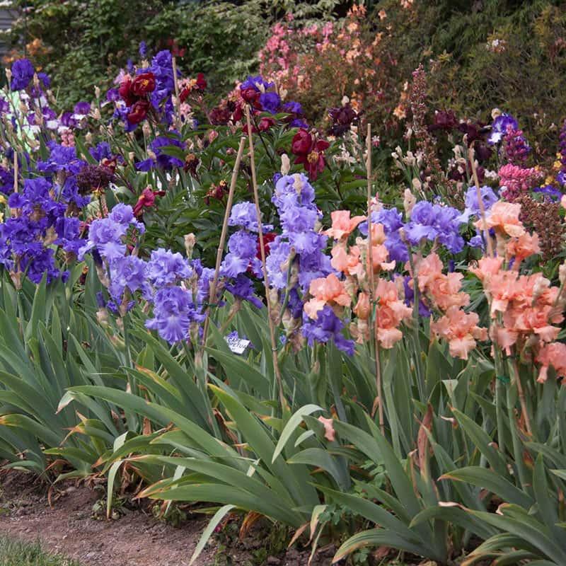 Bearded Iris Landscape Mix