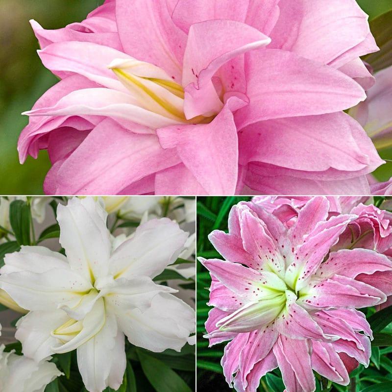 Lotus Lily Trio