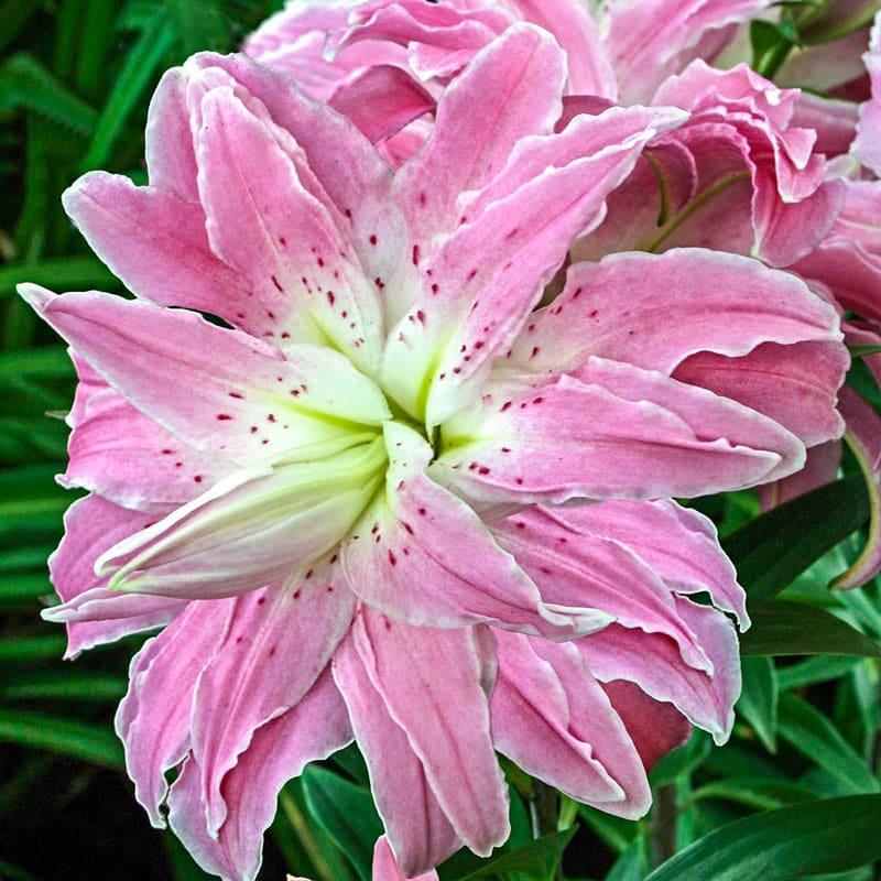 Lotus Elegance Lily