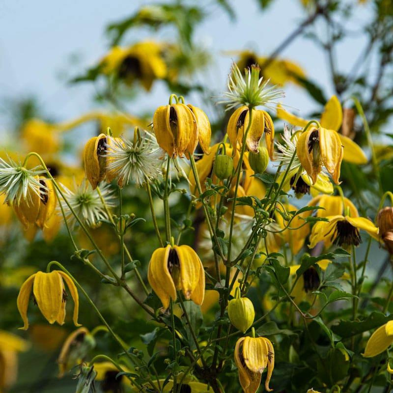 Clematis Golden Harvest