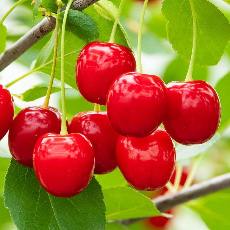 Wowza!™ Dwarf Cherry Tree