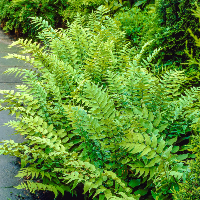 Fortune's Cold Hardy Holly Fern
