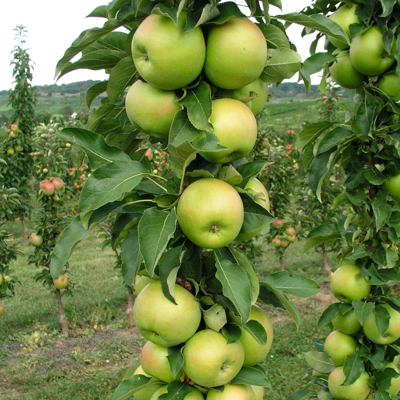 Tangy Green™ Urban Apple<sup>®</sup>