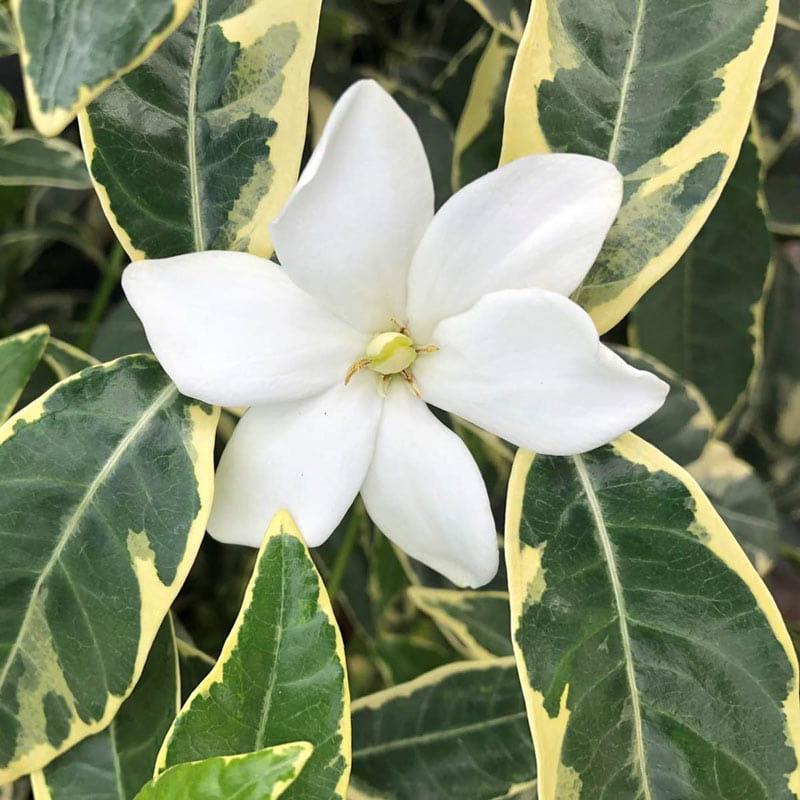 Augusta Variegated Gardenia