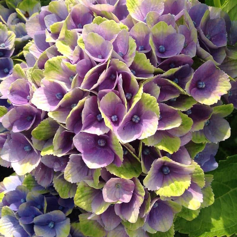 Hydrangea Everlasting<sup>®</sup> Amethyst