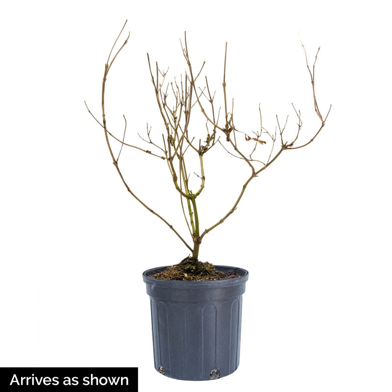Delta Blues Chaste Tree