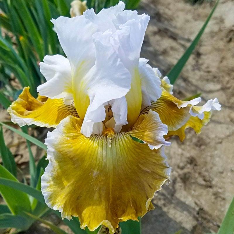 Going Green Reblooming Iris