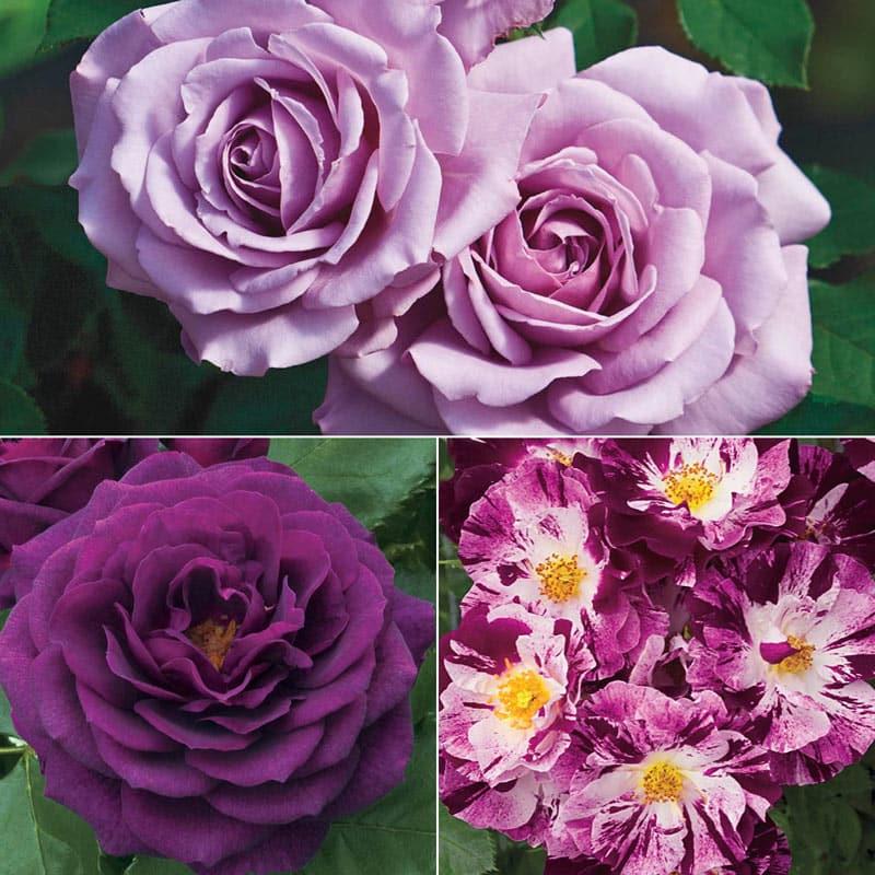 Purple Jumbo Rose Sampler