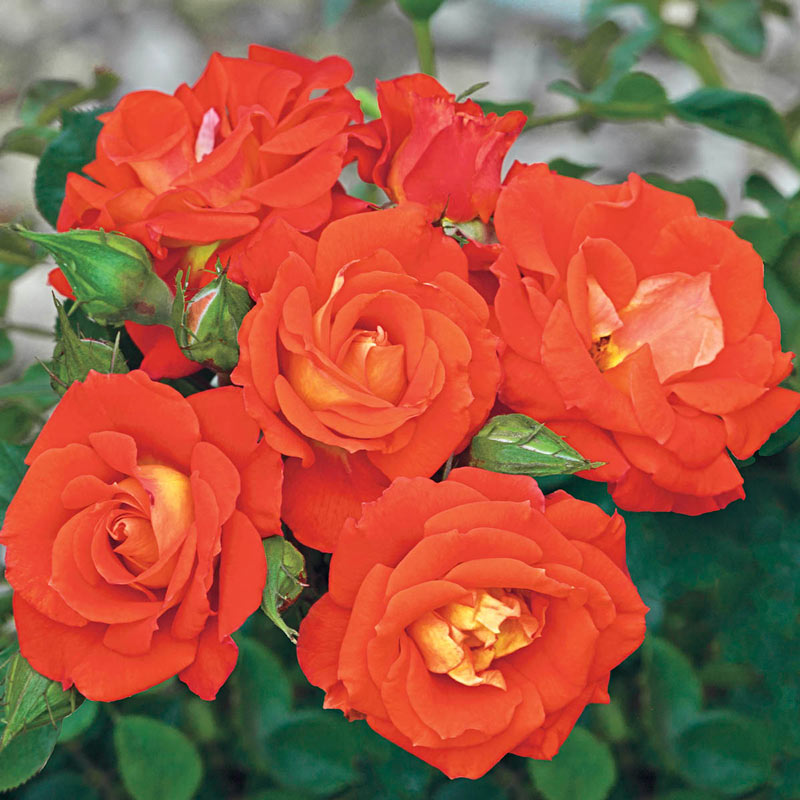 Top Of The World™ Climbing Rose